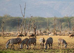 zebra manyara tanzania